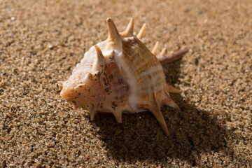 side veiw conch shell on sand