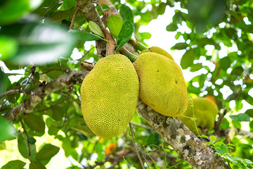 Young jackfruit on the tree from orchard. local Asian fruit has good smell and sweet taste, selective focus and blurred background.