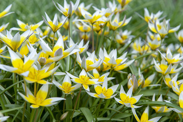 Tulipa Tarda (late tulip or tarda tulip) with inflorescence of yellow flowers in full bloom growing in a botanic garden