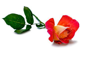 red rose on an isolated white background
