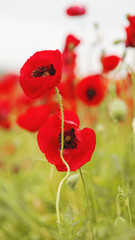 field of flowering red poppies