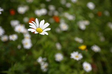 A daisy in a wildlflower patch