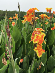 Canna indica or Indian shot or African arrowroot or Edible canna or Purple arrowroot or Sierra Leone arrowroot or Canna lily.