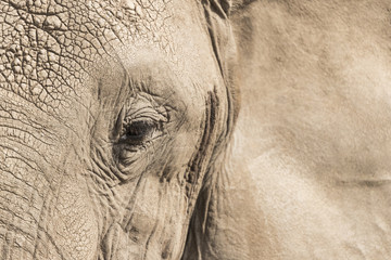 Elephant' face close up