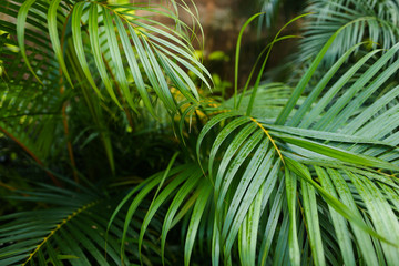 Palm tropical leaves background photo. Concept of botany and foliage.