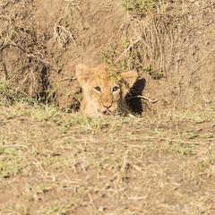 Lion cub hiding in a hole
