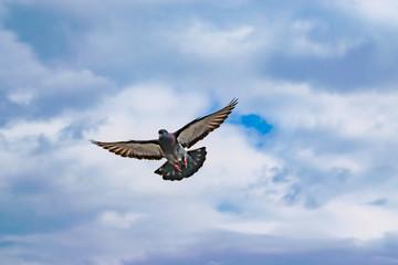 Flying wild pigeons, spring landscape