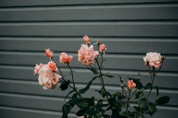 Roses after Rain