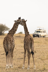 Two young giraffes show affection