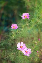 ピンク色のコスモス 2