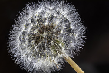 Close Up Macro Picture of Dandelion Seeds