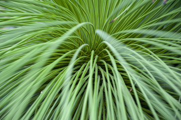 Close-up on leaves of Queretaro Yucca (Yucca queretaroensis, biconvex, denticulate-leaf), a plant species in the genus Yucca, family Asparagaceae,