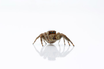 Jumping spider, Plexippus sp, Salticidae, India