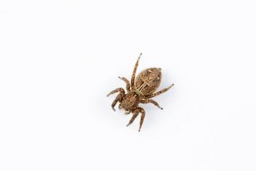 Jumping spider, Plexippus sp, Salticidae, India