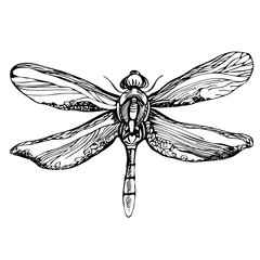 Hand drawn detailed dragonfly. Isolated on white background, vector insect, monochrome illustration
