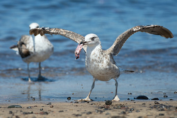 Seagull eating fish near the sea, hungry concept