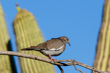 White-winged Dove (zenaida asiatica) perched on a branch in Arizona's Sonoran desert during springtime. Saguaro cactus is in the background along with the deep blue desert sky.