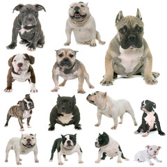 group of american bully