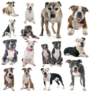 group of american staffordshire terrier