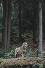 Photo sur Plexiglas Loup Wolf at Bayerisher Wald national park, Germany