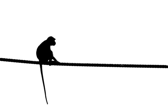 Macaque, Sabah Borneo