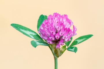 Trifolium pratense. Trébol rojo o violeta, inflorescencias.