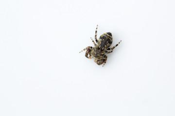 Jumping spider, Salticidae, Bangalore , India