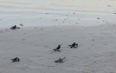 Five little adorable green sea turtle (Chelonia mydas) hatchlings are scrambling into the sea after being released by tourists on Redang Island, Malaysia.
