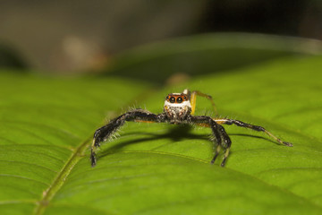 Jumping spider, Telamonia dimidiata, Salticidae, Aarey milk colony Mumbai