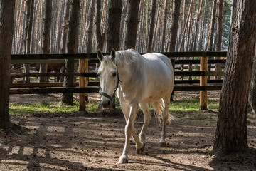 White Horse in the corral; outdoor, natural light shot.