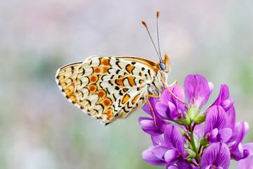 Melitaea phoebe. Doncella mayor. Mariposa.