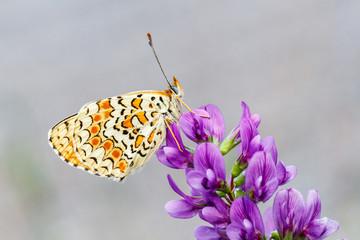 Doncella mayor. Melitaea phoebe. Mariposa.