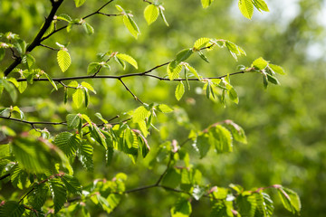 Green natural texture. Young birch leaves bloom in the spring in the sun. Close up.