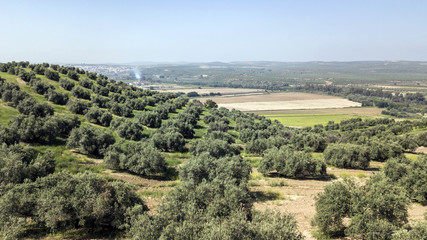 Countryside of the olive trees near mengibar, province of Jaen, Spain