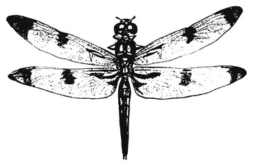 dragon-fly - odonata #vector #isolated - Libelle