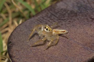 Jumping spider, Telamonia dimidiata, Salticidae, NCBS, Bangalore