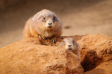 Prairie dogs watching their sand in the sand