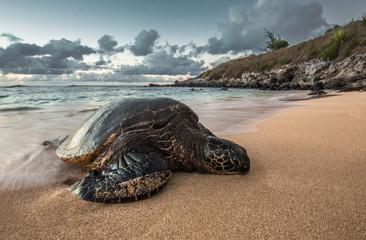 Fotorolgordijn Schildpad A Peacefully Resting Turtle at Sunset in Hawaii