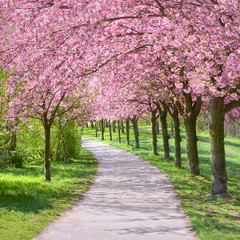 Alley of blossoming cherry trees following the path of the former Wall in Berlin, Germany