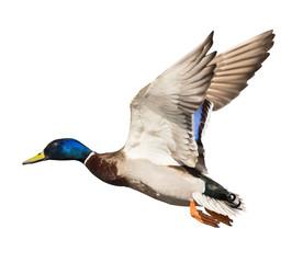 mallard duck drake with blue head on white in flight