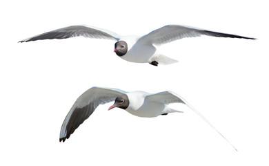 two flying black-headed gulls on white