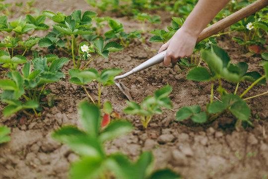 Woman hands remove weeds from her strawberry beds using hoe
