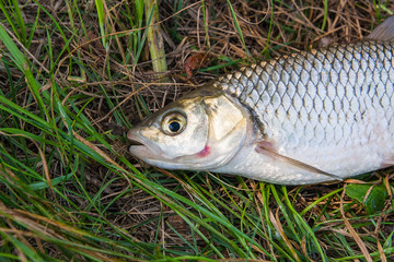 View of the European chub fish on the natural background. .
