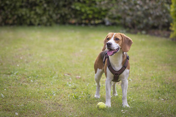 Beagle with hanging tongue is waiting at the tennis ball