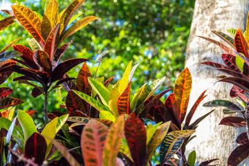南国の植物「クロトン」沖縄県識名園