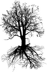 bare oak with black root isolated silhouette