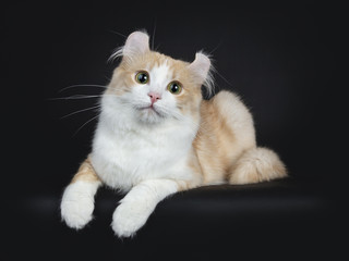 Creme with white adult American Curl cat laying on black background