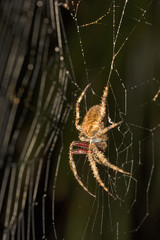 Spider, Araneidae, Belianchip, Tripura , India