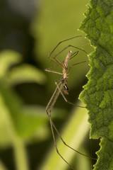 Spider, Tetragnathidae, Aarey milk colony Mumbai