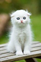 White scottish fold kitten sitting on a garden bench
